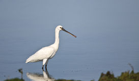 Eurasian Spoonbill. A eurasian spoonbill is looking around on a pond Royalty Free Stock Image