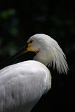 Eurasian Spoonbill (Platalea leucorodia)  Royalty Free Stock Photo