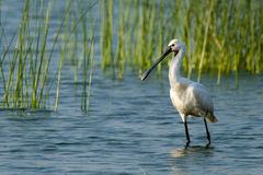 Eurasian Spoonbill (Platalea leucorodia). In water royalty free stock photo