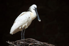 Eurasian spoonbill (Platalea leucorodia). Eurasian spoonbill (Platalea leucorodia), also known as the common spoonbill. Wildlife animal stock image