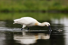 Eurasian spoonbill. Platalea leucorodia or common spoonbill fishing in the dark water of the pond. A typical hunting method spoonbill family royalty free stock photo