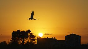 Eurasian Spoonbill Platalea leucorodia Flying at Sunset. Cadiz Spain royalty free stock photography