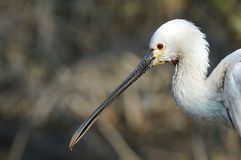 Eurasian Spoonbill (Platalea leucorodia) head. Close up of Eurasian Spoonbill (Platalea leucorodia) head stock images