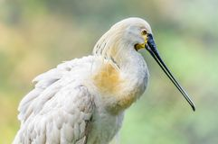 Eurasian Spoonbill Platalea leucorodia pruning royalty free stock images