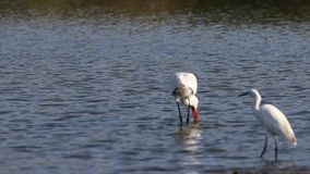 Eurasian spoonbill looking for food in pond stock video footage