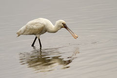 Eurasian Spoonbill Royalty Free Stock Photos