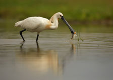 Eurasian Spoonbill,Platalea leucorodia with successful catch. White wading bird, rare Eurasian Spoonbill, Platalea leucorodia with successful catch. Close up stock photography