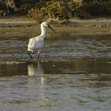 Eurasian Spoonbill Platalea Leucorodia Wading. At San Fernando Marshlands Cadiz Spain stock photo