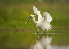Eurasian Spoonbill, rare white bird in shallow water with outstretched wings. White bird, rare Eurasian Spoonbill, Platalea leucorodia fishing in shallow water stock photos