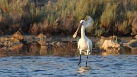 Eurasian spoonbill on shallow waters. Eurasian spoonbill, platalea leucorodia, wanders and looks around on shallow pond and then flies away stock video footage