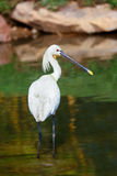 Eurasian Spoonbill Royalty Free Stock Photo