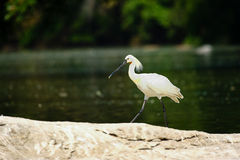 Eurasian Spoonbill Stock Photography