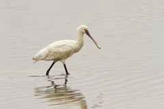 Eurasian Spoonbill Walking Royalty Free Stock Photo