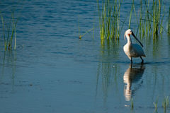 Eurasian Spoonbill in water Royalty Free Stock Image