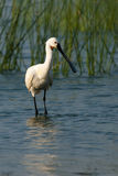 Eurasian Spoonbill in water Royalty Free Stock Photos