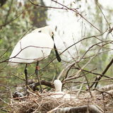 Eurasian Spoonbill Royalty Free Stock Image