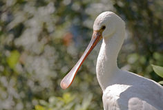 Eurasian spoonbill Royalty Free Stock Photography