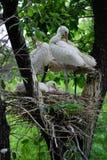 Eurasian Spoonbills Stock Images