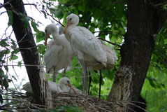 Eurasian Spoonbills Royalty Free Stock Photography