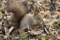 Eurasian Squirrel eating Peanut. Royalty Free Stock Photo