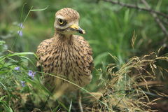Eurasian stone-curlew Stock Photos