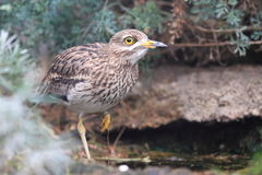 Eurasian stone-curlew Stock Image