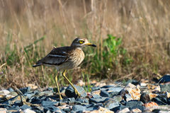 Eurasian Stone curlew (Burhinus oedicnemus) Royalty Free Stock Photo
