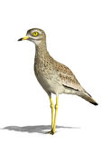 Eurasian stone-curlew Royalty Free Stock Photography