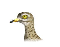 Eurasian stone-curlew Royalty Free Stock Photo