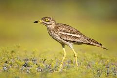 Free Eurasian Stone Curlew On A Beautiful Background Stock Photo - 102380570