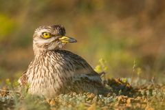 Free Eurasian Stone Curlew Sitting On Nest And Looking At The Camera Stock Photography - 102422072