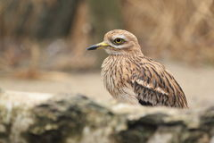 Eurasian stone-curlew Royalty Free Stock Image