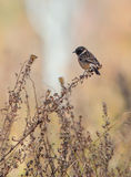 Eurasian Stonechat. Male Eurasian Stonechat (Saxicola rubicola) perching on a dry bush Royalty Free Stock Photos