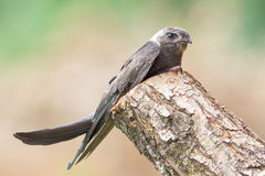 Eurasian Swift / Apus apus Royalty Free Stock Images