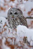 Eurasian Tawny Owl siting on the orange oak branch with snow stock photography