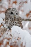 Eurasian Tawny Owl siting on the orange oak branch with snow, Norway stock photos
