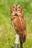 Eurasian Tawny Owl or Strix aluco Stock Image
