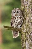 Eurasian Tawny Owl - Strix aluco Royalty Free Stock Images