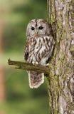Eurasian Tawny Owl - Strix aluco Royalty Free Stock Images