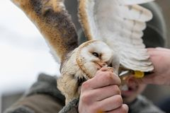 Eurasian Tawny Owl, Strix aluco, is fed from the hand of the falconer in the woods in the winter. Eurasian Tawny Owl flies her mea. Feeding the Eurasian Tawny Stock Images