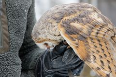 Eurasian Tawny Owl, Strix aluco, is fed from the hand of the falconer in the woods in the winter. Eurasian Tawny Owl flies her mea. Feeding the Eurasian Tawny Royalty Free Stock Photography