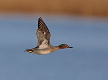 Free Eurasian Teal Stock Images - 65660944