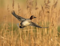 Free Eurasian Teal Royalty Free Stock Photography - 65661587