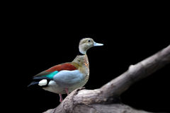 Eurasian teal Royalty Free Stock Images