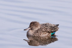 Eurasian Teal or Common Teal (Anas crecca). In water Royalty Free Stock Image