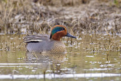 Eurasian teal or common teal (Anas crecca). Is a common and widespread duck which breeds in temperate Eurasia Royalty Free Stock Photo