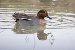 Eurasian teal or common teal (Anas crecca). Is a common and widespread duck which breeds in temperate Eurasia Royalty Free Stock Photos