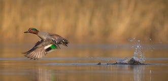 Eurasian Teal - crecca di anas Fotografia Stock Libera da Diritti