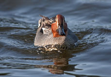 The Eurasian Teal is the smallest dabbling duck Stock Photo