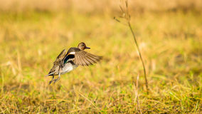 Eurasian Teal, take off Stock Image